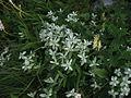 Leontopodium japonicum var. shiroumense 02.jpg