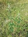 Leonurus cardiaca subsp. cardiaca sl2.jpg