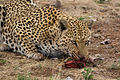 Leopard Eating (3685501424).jpg