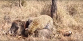 Leopard eats alive Warthog ✰Amaizing Video HD 7.png