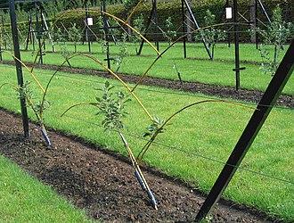 Fruit tree forms - Image: Lepage fruittreeform