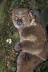 A small primate with large orange eyes clings vertically to a tree.