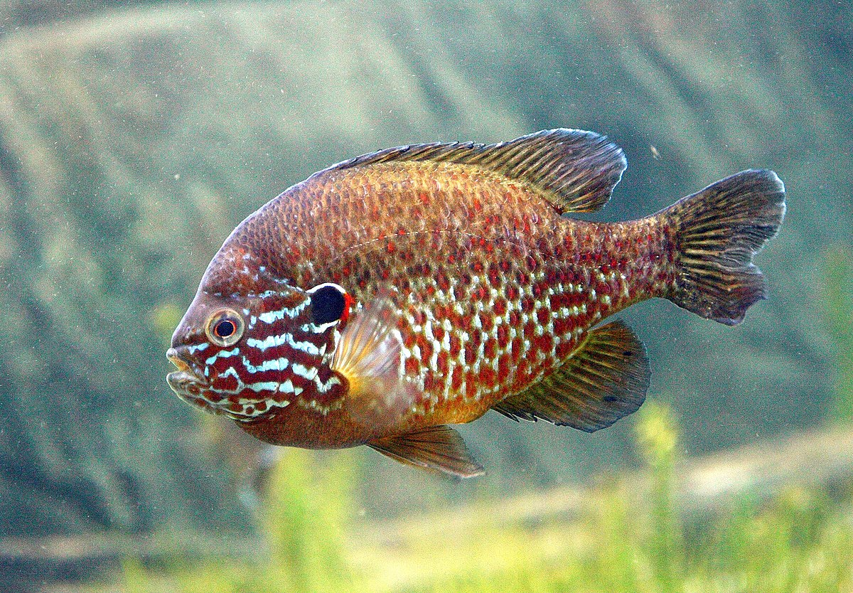pumpkinseed wikipedia