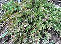 Leucospermum heterophylum bush.JPG