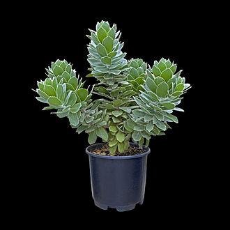 Jan Bekker Teerlink - A Leucospermum plant grown in Kew Gardens from seeds collected by Bekker Teerlink.