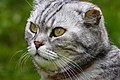 Lewis, the british shorthair tabby cat (46923297755).jpg