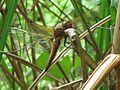Libellula fulva (Scarce Chaser) male, Plasmolen, the Netherlands.jpg