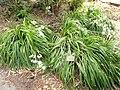 Libertia chilensis - University of California Botanical Garden - DSC08908.JPG