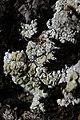 Lichen (29239667717).jpg