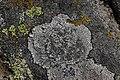 Lichen (30636891968).jpg