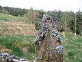 Lichen on top rotting wood fence post - geograph.org.uk - 1303701.jpg
