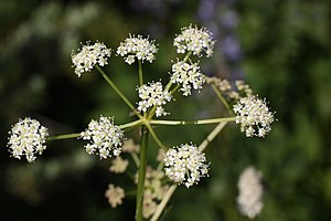 Gray's Licorice-root, Gray's Lovage, Sheep Wil...