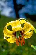 Lil carniolicum subsp ponticum 01EB Tuerkei Ikizdere 02 07 93.jpg