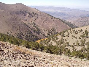 Woodland - Limber Pine woodland in the Toiyabe Range of central Nevada