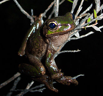 Queenstown, Tasmania - A Tasmanian Tree Frog from Queenstown