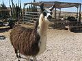 Llama in the Alpacas farm near Mitzpe Ramon, Israel.jpg