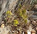Lomatium parryi 7.jpg