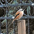 Long Tailed Shrike (6707683089).jpg