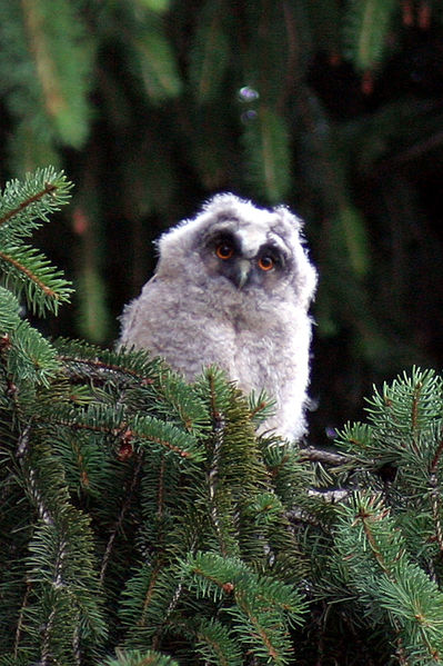 File:Long eared owl young gfdl.jpeg