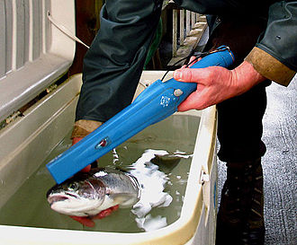 Coded wire tag - The head of this steelhead is being scanned with a CWT wand.