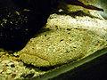 Lophiosilurus alexandri.jpg