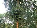 Loranthus europaeus on Tree.JPG