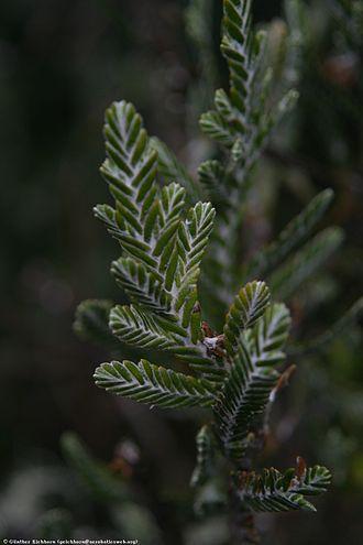 Loricaria (plant) - Image: Loricaria thuyoides