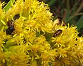 Luperaltica nigripalpis goldenrod.jpg