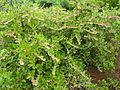Lyonia lucida - US Botanic Garden.jpg