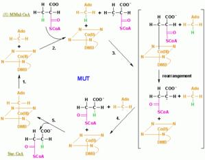 Methylmalonyl-CoA mutase - Image: MUT