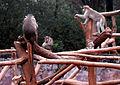 Macaca radiata (common Indian monkey) at IG Zoological park in Visakhapatnam 01.JPG