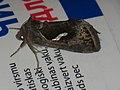 Macdunnoughia confusa - Dewick's Plusia - Металловидка-капля (40397671284).jpg