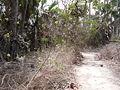 Macrosphyra longistyla 0013.jpg