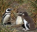 Magellanic Penguin with chicks (5540904637).jpg