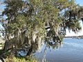 Magnolia Plantation and Gardens - Charleston, South Carolina (8555404301).jpg