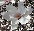 Magnolia cylindrica 2.jpg