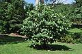 Magnolia delavayi 2012.jpg