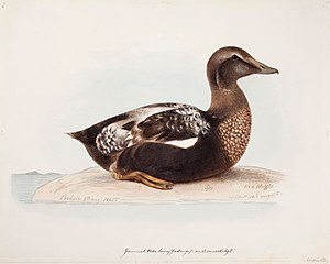 Common Eider, Old Male in Summer