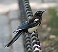 Magpie in Madrid (Spain) 17.jpg