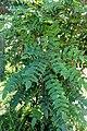 Mahonia lomariifolia kz4.jpg