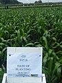 Maize farming in Kenya.jpg