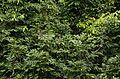 Malabar grey hornbill (Ocyceros griseus) JEG2256.jpg
