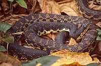 Malagasy giant hognose snake (Leioheterodon madagascariensis).jpg