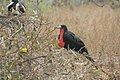 Male Frigate Bird with a Partially-Inflated Sac.jpg