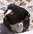 Male Frigatebird with chick Fregata aquila.jpg