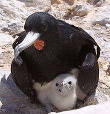 Male Frigatebird with chick Fregata aquila.jpg