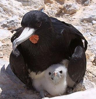 Ascension frigatebird - Male with chick at Boatswain Bird Island
