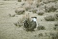 Male Greater Sage-Grouse (6948248696).jpg