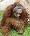 Male Orangutan.jpg