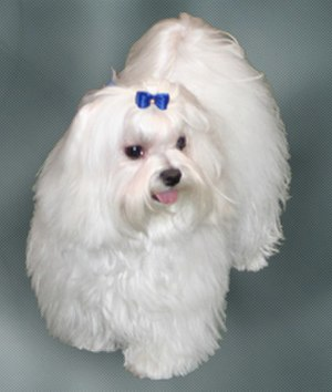 Maltese dog - Maltese dog as a pet